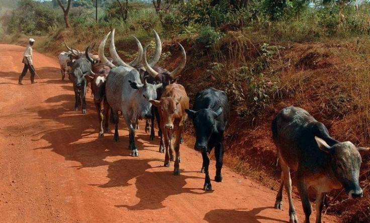 Fahrt nach Kampala - Rindergruppe